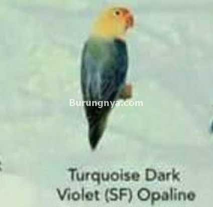Lovebird Turquoise Dark Violet SF Opaline