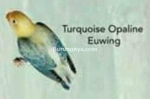 Lovebird Turquoise Opaline Euwing