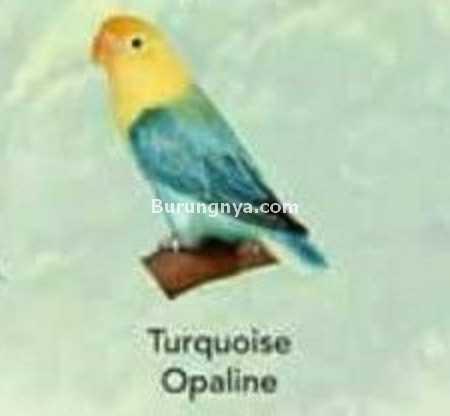 Lovebird Turquoise Opaline