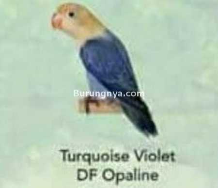 Lovebird Turquoise Violet DF Opaline