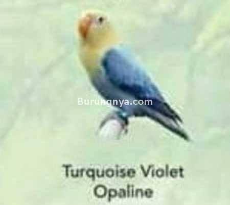 Lovebird Turquoise Violet Opaline