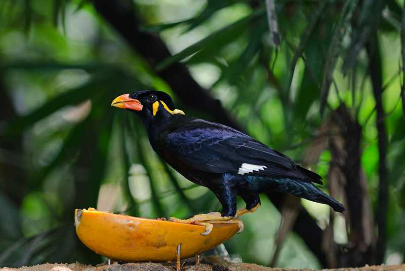 Makanan Burung Beo (birdphoto.co.uk)