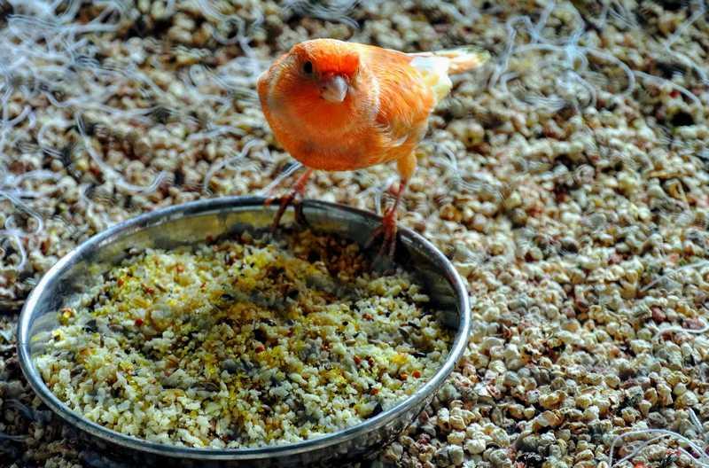 Makanan Tambahan Burung Kenari (themarthablog.com)
