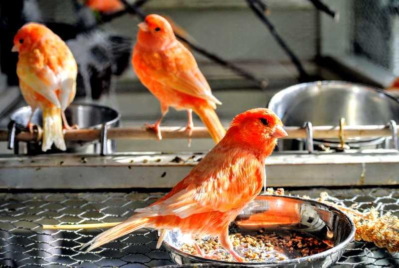 Pakan Extra Fooding Burung Kenari (themarthablog.com)