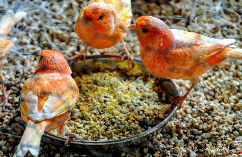 Pakan Tambahan Burung Kenari (themarthablog.com)