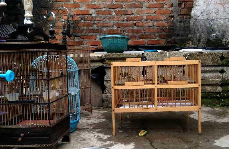 Setingan Pleci Lomba dengan Terapi Mandi Malam (twgram.me)