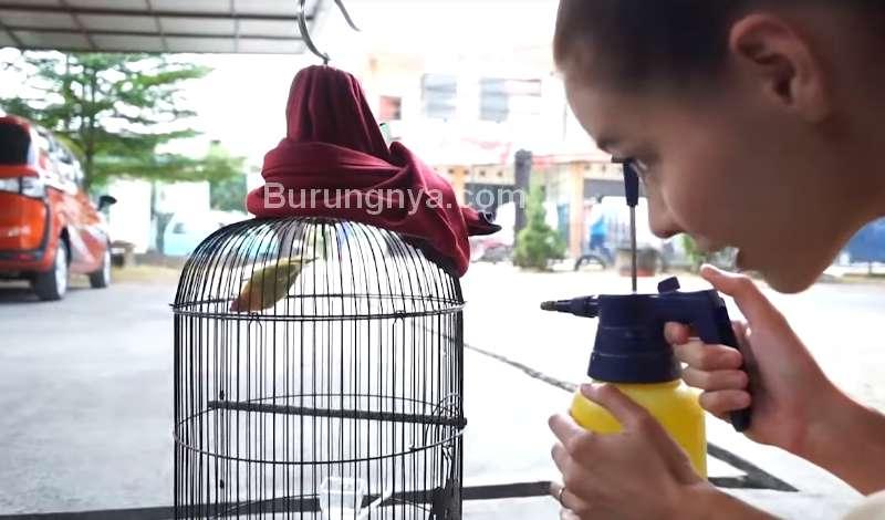 Bule Cantik Mandikan Burung Lovebird (youtube.com)