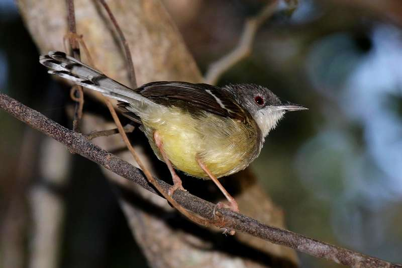 Burung Ciblek Gunung (hbw.com)