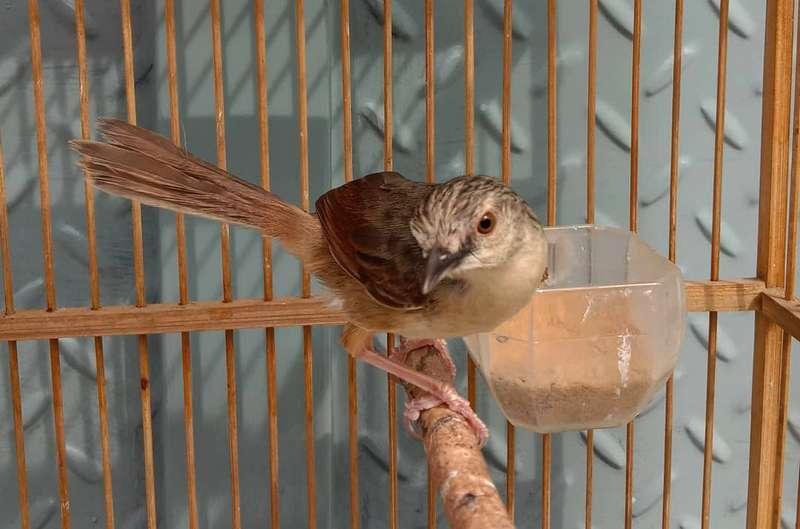 Burung Ciblek Termahal Harga Rp 25 Juta (gramha.net)