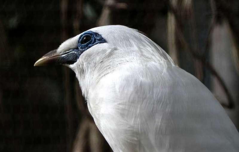 Burung Jalak Bali Gacor (leesbird.com)