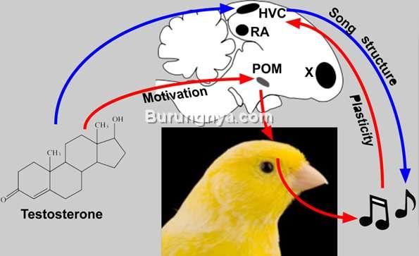 Burung Kenari Jantan Disuntik Hormon Testosteron (uliege.be)