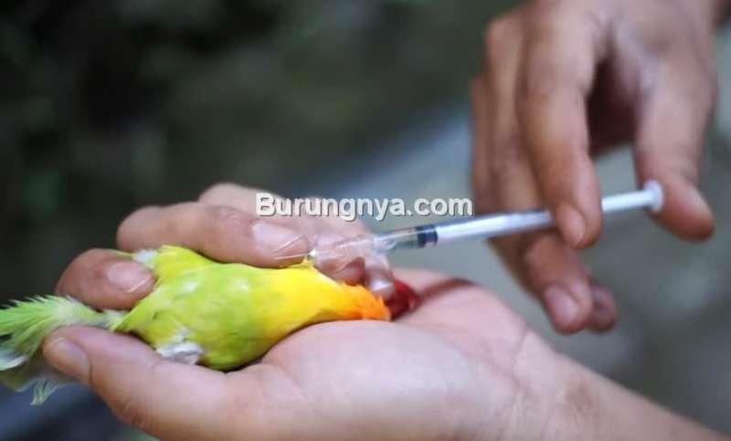 Burung Lovebird Disuntik Hormon (youtube.com)