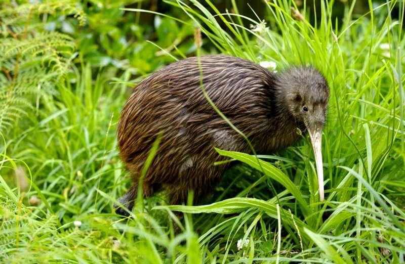 Fakta Menari Burung Kiwi (southernliving.com)
