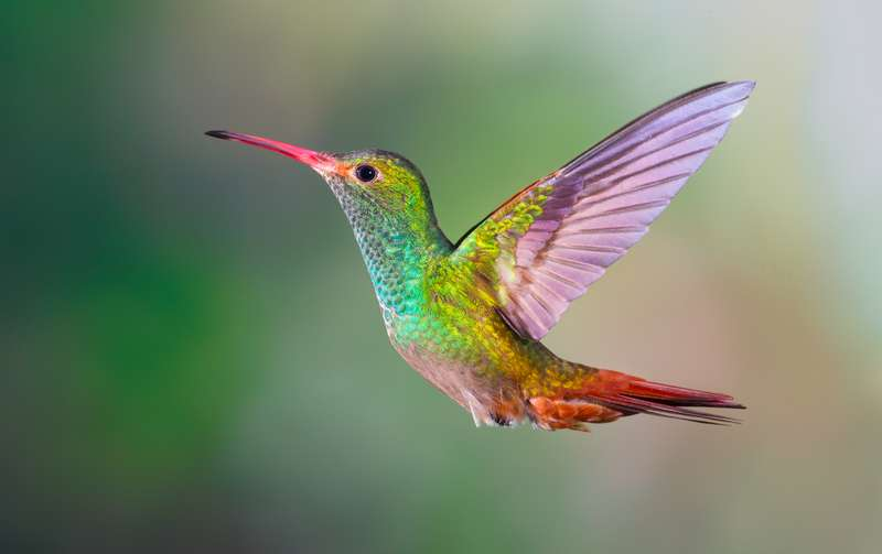 Kelebihan dan Fakta Burung Kolibri (cameoglassuk.co.uk)
