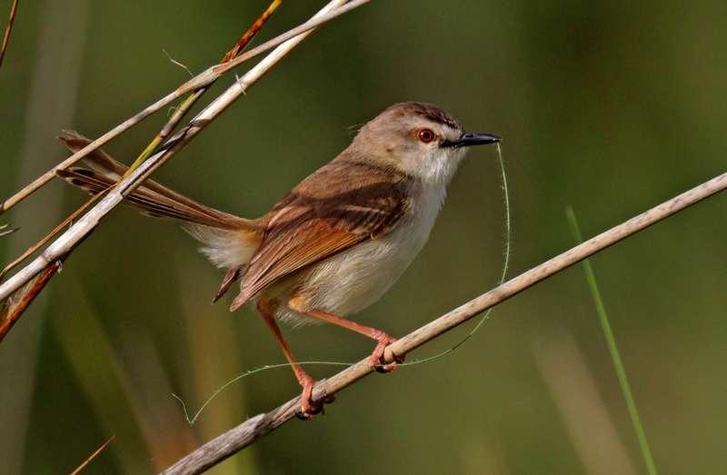 Latihan Burung Gunung untuk Masteran (wikiwand.com)