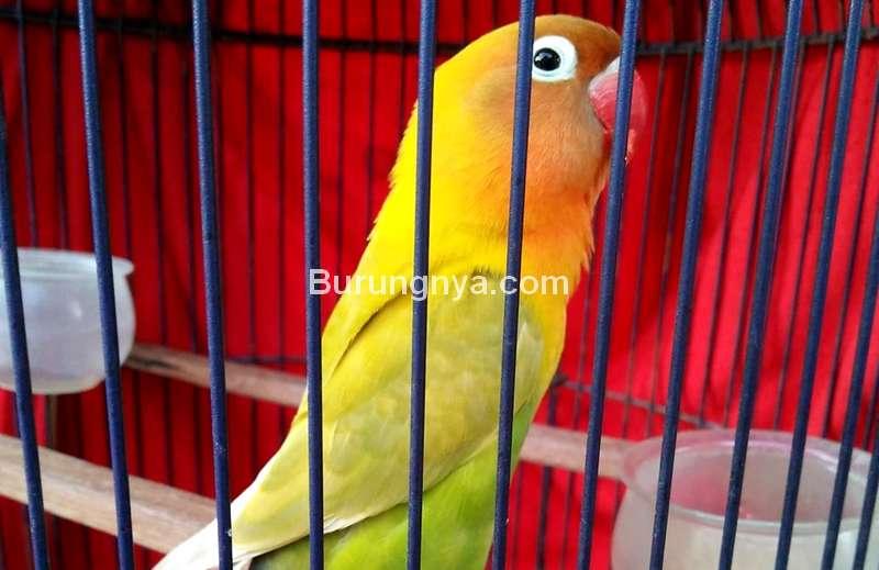 Lovebird Gadis Muda Ngekek 20 Menit (facebook.com)