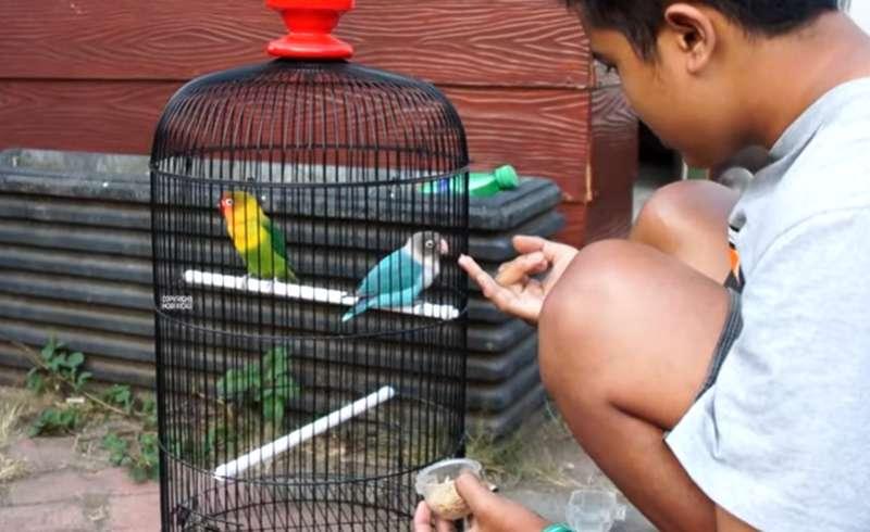 Lovebird Safira Beli Rp 600 Ribu Ditawar Rp 100 Juta (youtube.com)