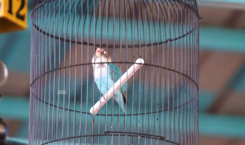 Lovebird Safira (youtube.com)