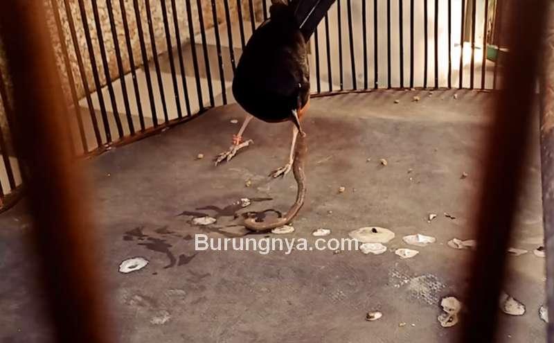 Manfaat Cacing Tanah untuk Burung Murai Batu (youtube.com)