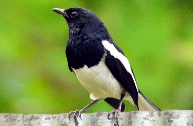 Masalah Burung Kacer dan Cara Mengatasinya (wikimedia.org)
