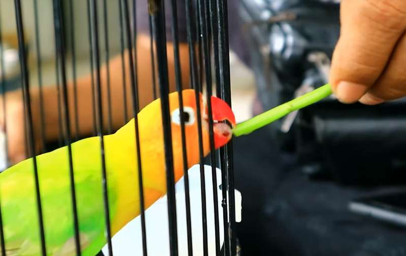 Setingan Lovebird Balibu Konslet (youtube.com)