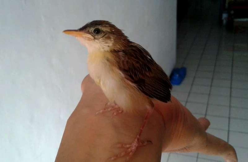 Burung Ciblek Jinak (kaskus.co.id)