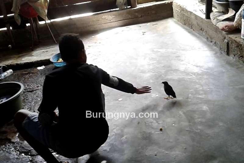 Burung Masuk Rumah Pertanda Baik atau Buruk (youtube.com)
