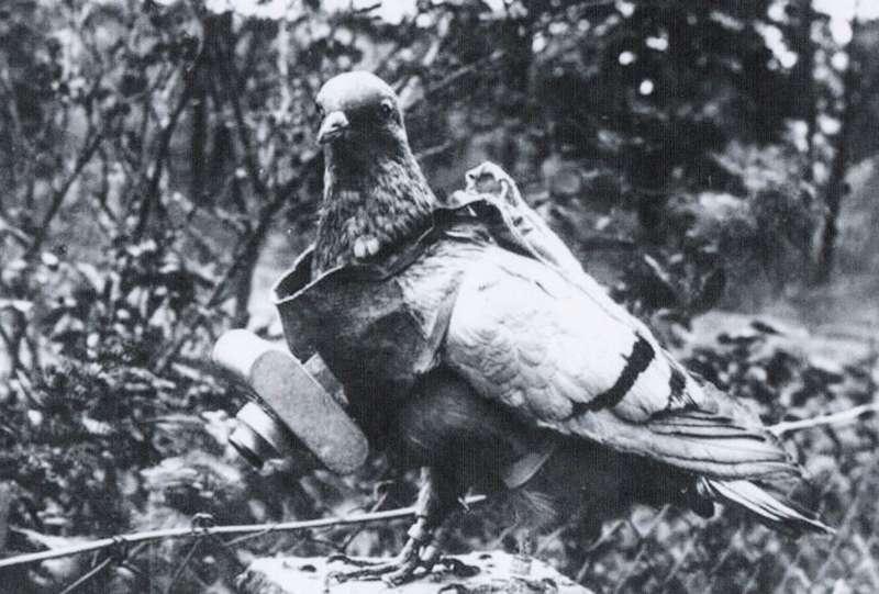 Burung Merpati Jadi Mata-mata Perang Dingin (message2man.com)