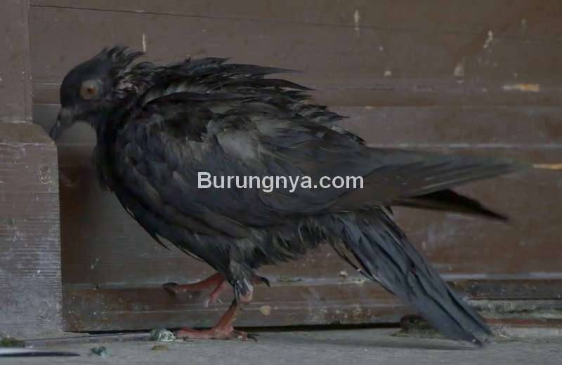 Burung Merpati Sakit (videoblocks.com)