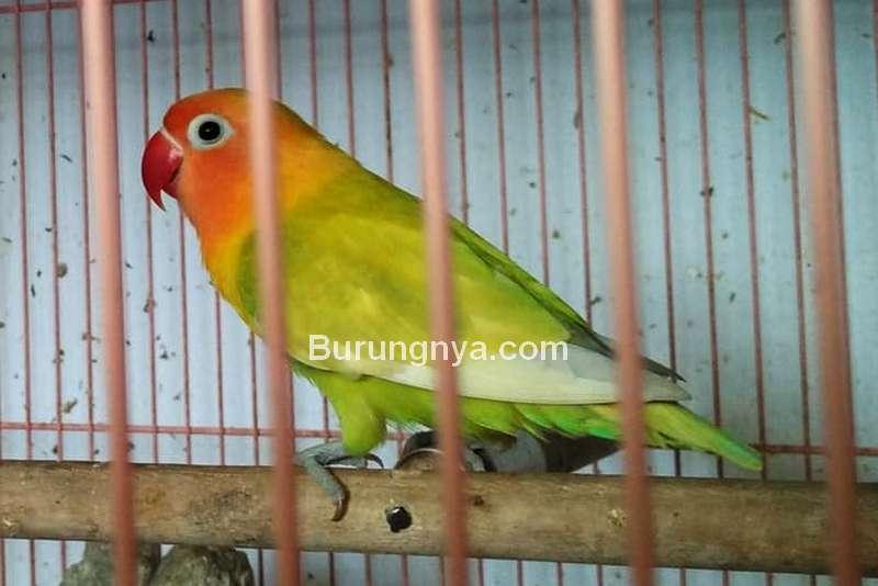Cara Melatih Lovebird Rajin Ngekek (tokopedia.com)