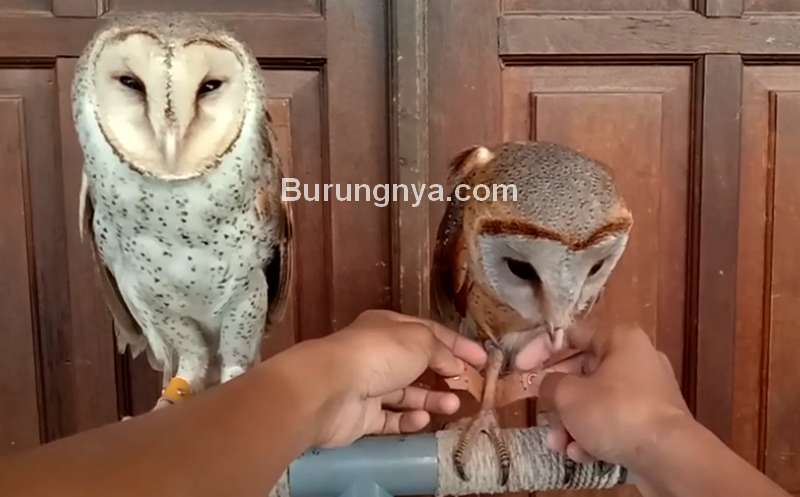 Cara Memasang Gelang Tali Angklet di Kaki Burung Hantu Galak (youtube.com)