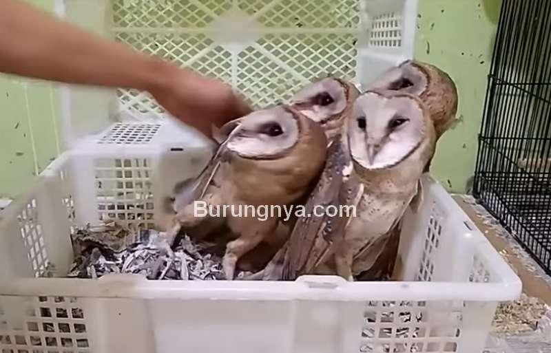 Cara Memegang Burung Hantu Galak (youtube.com)