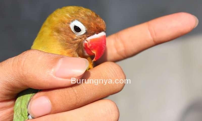 Ciri Fisik Lovebird Betina Akurat (youtube.com)