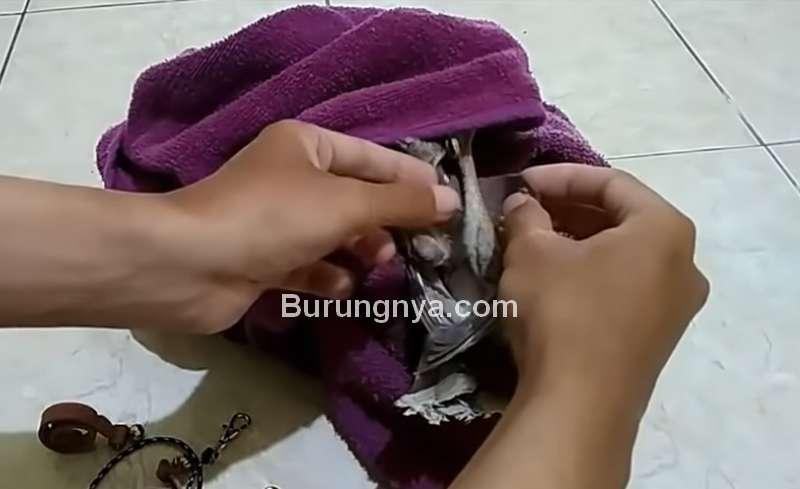 Kepala Burung Hantu Ditutup Kain Handuk (youtube.com)