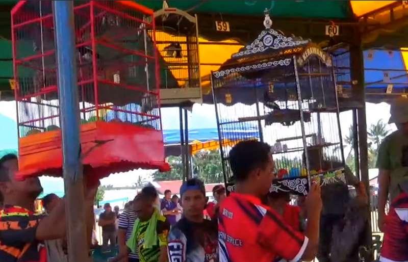 Lomba Burung Kacer Taruhan Tanah 4 Hektar Viral (youtube.com)