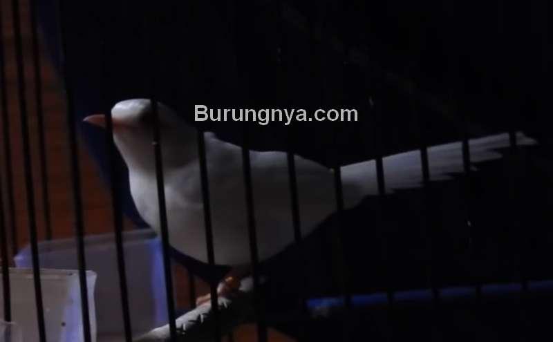 Harga Murai Batu Albino Langka Rp 750 Juta Burungnya Com