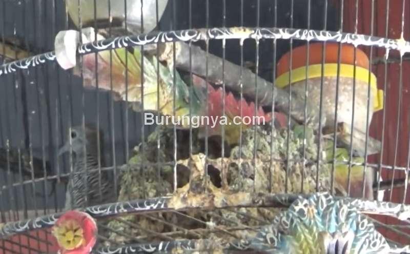 Perkutut Sri Tumpuk Pembawa Rezeki (youtube.com)