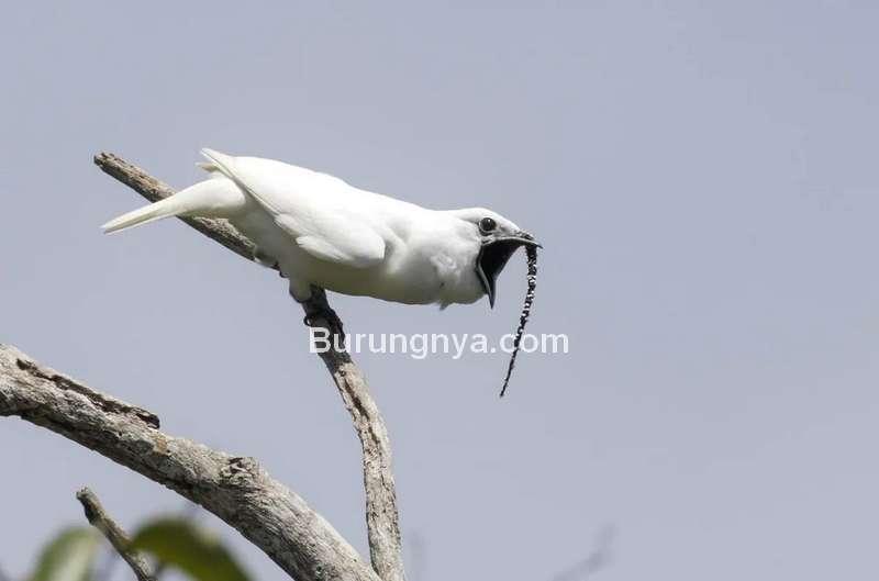 Burung Bellbird Putih dengan Suara Paling Keras di Dunia (cbc.ca)