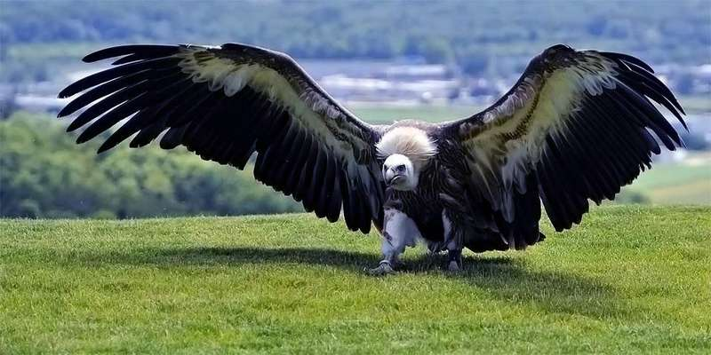 Burung Terbesar dengan Sayap 7 Meter (dinoanimals.com)
