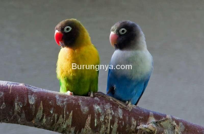 Cara Mencari Lovebird Untulan untuk Lovebird Jantan dan Betina (thriftyfun.com)