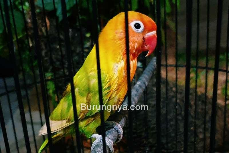 8 Cara Mengenali Karakter Lovebird dari Perawatan Harian