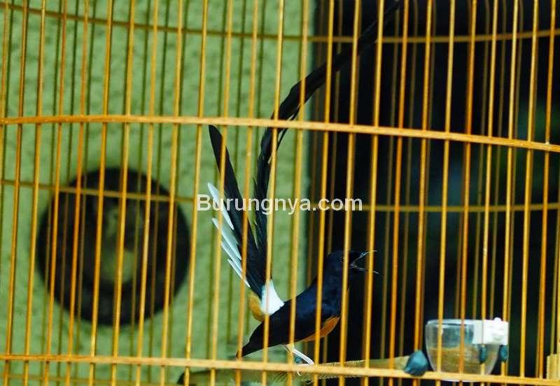 Ekor Murai Batu Tidak Tumbuh Panjang (davidsbirds.blogspot.com)