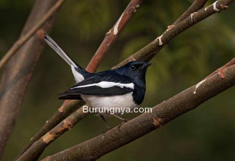 Karakter Burung Kacer (hbw.com)