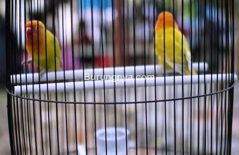 Lovebird Fighter Jadi Lovebird Konslet (youtube.com)
