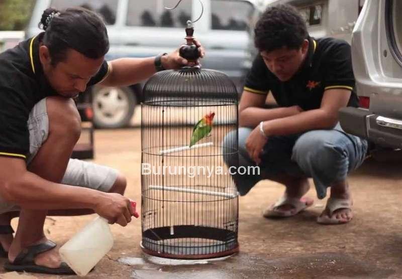 Lovebird Gacor Alami (youtube.com)