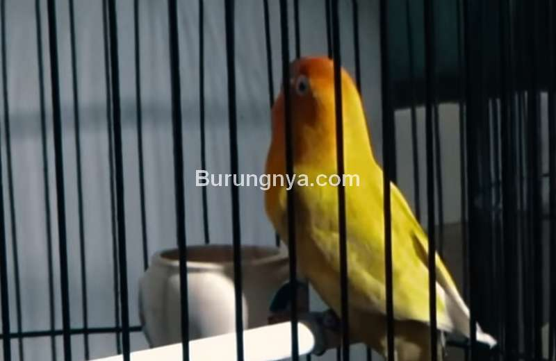 10 Cara Alami Tambah Durasi Ngekek Lovebird Tanpa Vitamin