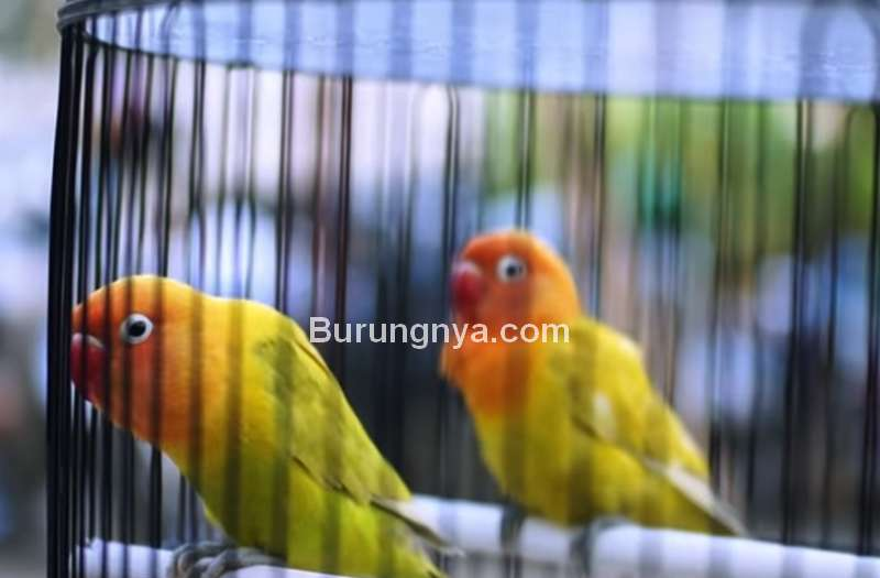7 Setingan Lovebird Betina Fighter Jadi Konslet Durasi Panjang