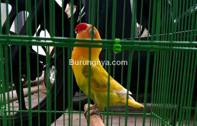 Setingan Lovebird Paud Jantan Receh (olx.co.id)
