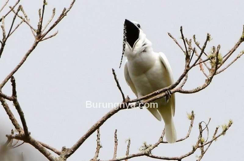 Suara Burung White Bellbird Terkeras di Dunia (umass.edu)