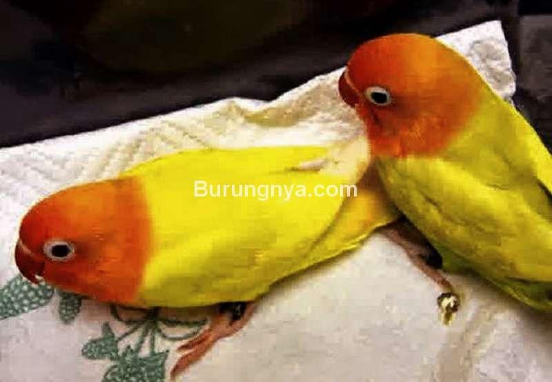 Burung Lovebird Lumpuh dan Lemas (jalaksuren.net)